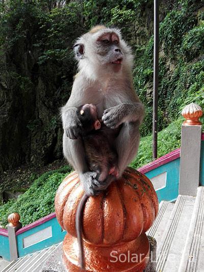 batucaves-monkey